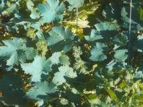 viti blu del nonno (12)