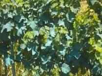 viti blu del nonno (7)
