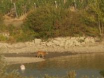 abbeverata del daino al lago della villa a radda (2)