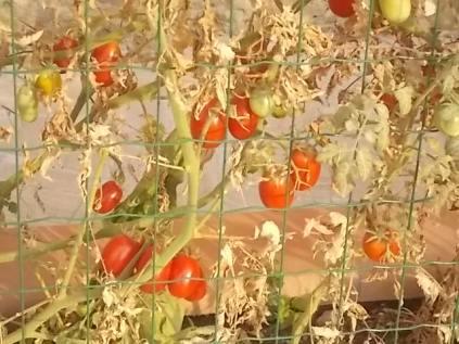 la casa con la siepe di pomodori (7)