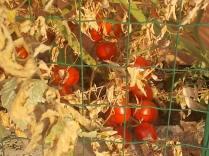 la casa con la siepe di pomodori (8)