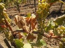malvasia siccità 2017 (2)