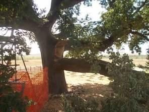 quercia delle checche pienza, caduta ramo agosto2017 (2)