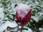 rosa-biancarose1