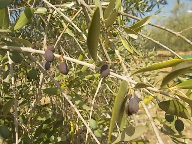 vertine olive secche agosto 2017