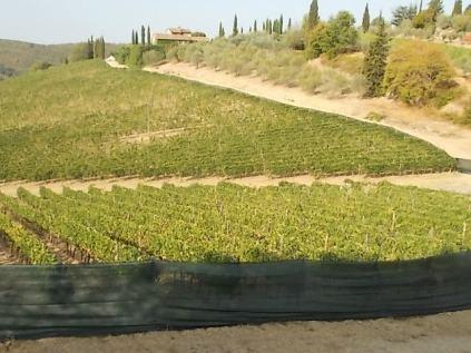 vertine vigne ex porta dei bischeri con telo ombreggiante (13)