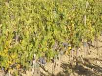 vertine vendemmia 2017 (11)
