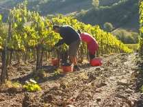 vertine vendemmia 2017 (16)