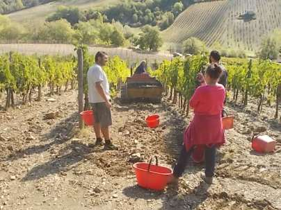 vertine vendemmia 2017 (19)