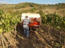 vertine vendemmia 2017 (2)