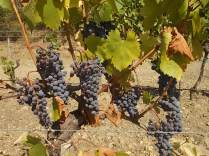 vertine vendemmia 2017 (22)