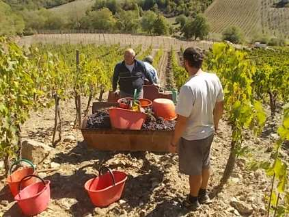 vertine vendemmia 2017 (25)