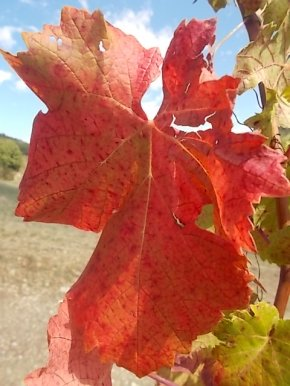 vertine vendemmia 2017 (3)