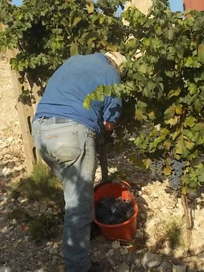 vertine vendemmia 2017 (34)