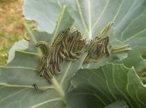 bruchi cavolfiore e cavolo nero (1)