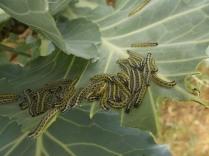 bruchi cavolfiore e cavolo nero (4)