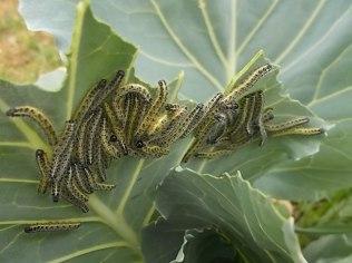bruchi cavolfiore e cavolo nero (8)