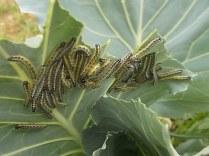 bruchi cavolfiore e cavolo nero (9)