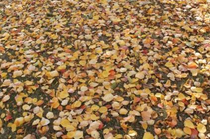 foglie albicocco (1)