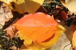 foglie albicocco (10)