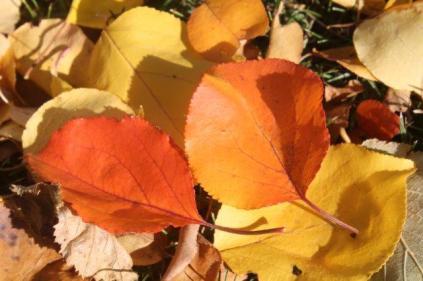 foglie albicocco (11)