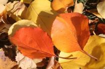 foglie albicocco (12)