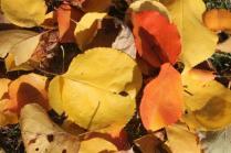 foglie albicocco (13)