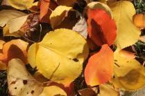 foglie albicocco (14)