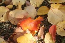foglie albicocco (15)