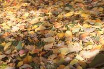 foglie albicocco (16)