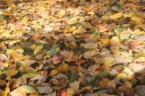 foglie albicocco (17)
