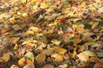 foglie albicocco (18)