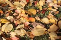 foglie albicocco (19)