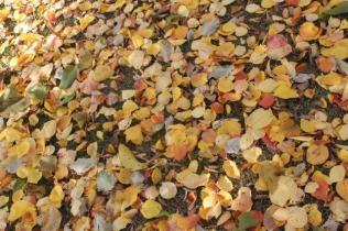foglie albicocco (2)