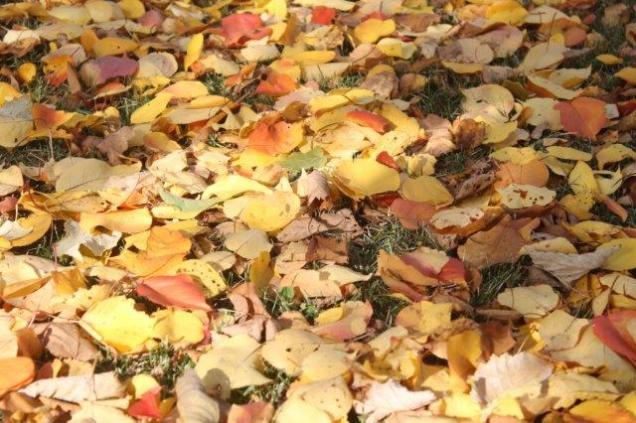 foglie albicocco (21)