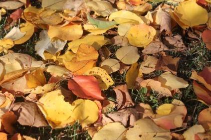 foglie albicocco (22)