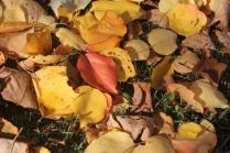 foglie albicocco (23)