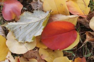 foglie albicocco (25)