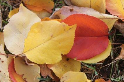 foglie albicocco (26)