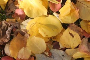 foglie albicocco (27)