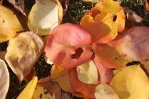 foglie albicocco (4)