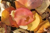 foglie albicocco (5)