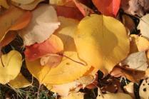 foglie albicocco (6)