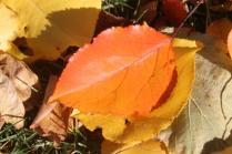 foglie albicocco (9)
