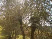 oliveta-di-vertine-potatura-olivi-a-ottobre-1