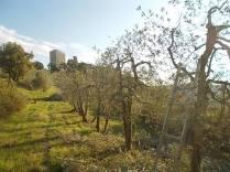 oliveta-di-vertine-potatura-olivi-a-ottobre-12