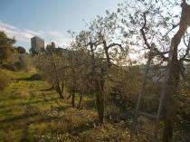 oliveta-di-vertine-potatura-olivi-a-ottobre-13