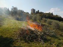 oliveta-di-vertine-potatura-olivi-a-ottobre-16