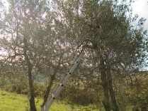 oliveta-di-vertine-potatura-olivi-a-ottobre-3