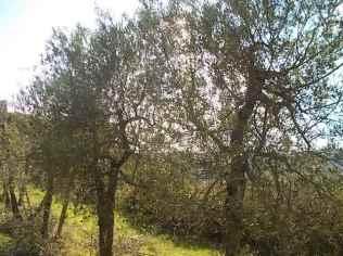 oliveta-di-vertine-potatura-olivi-a-ottobre-6